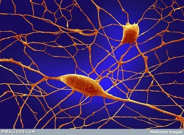 نرون های عصبی در مخچه (بیش از 100 بیلیون نرون در مغز وجود دارد )